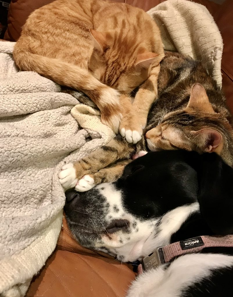 cat and dog pile up on sofa